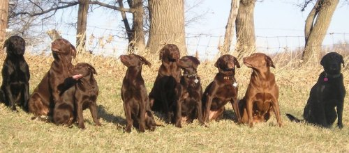 These field bred labs are built like flat-coats.