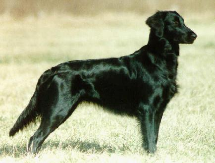 "This very lightly built flat-coat is similar to the ""weedy"" dogs that were being produced in the interwar period."