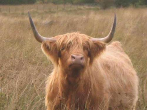 highland-cattle1