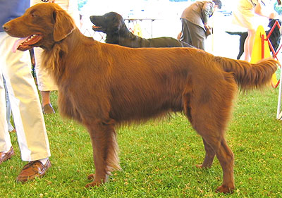 Mahogany Golden Retriever