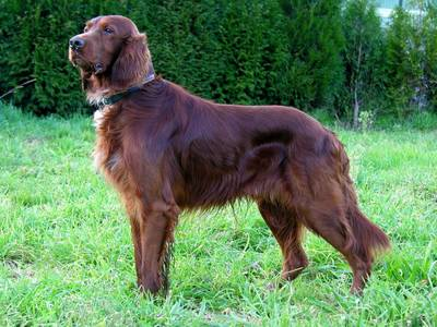 Very few goldens approach the setter's mahogany color, but some do.