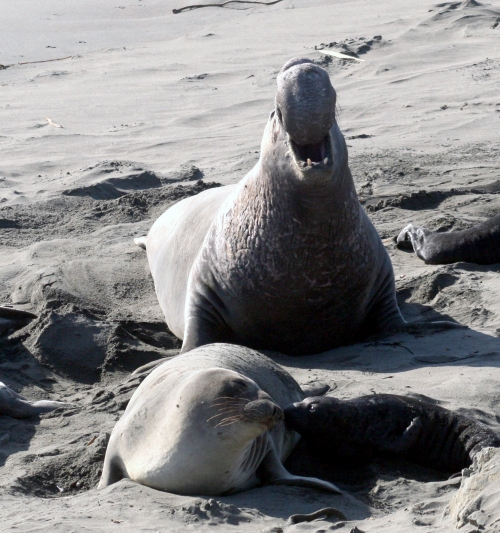 All Northern elephant seals have the same male ancestor.