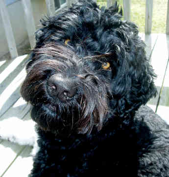 Portuguese Water Dogs ...