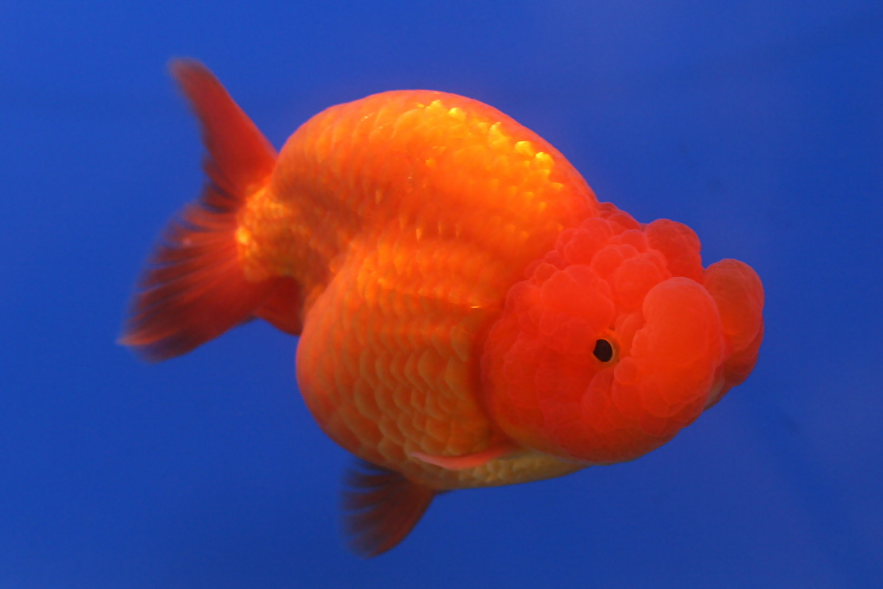 breeding fancy goldfish