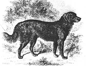 Black Irish setters could be the setter in this setter-retriever cross.
