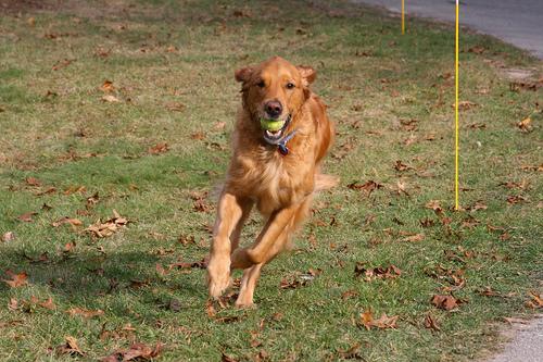 tennis-ball-golden
