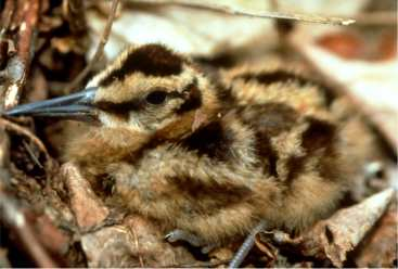 woodcock-chick