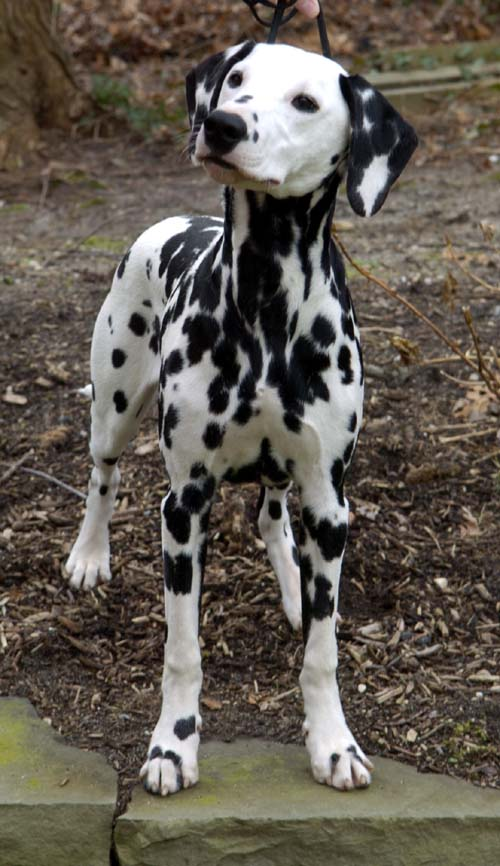 black-and-white-dalmatian