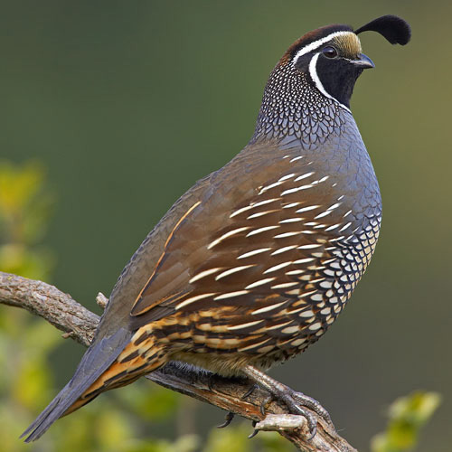 "California or Valley Quail, the birds that say ""Chicago."""