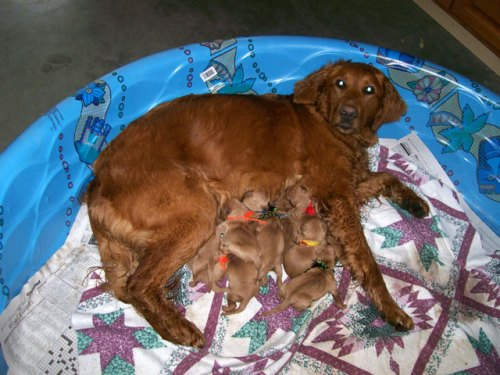 This mahogany golden's puppies were born in the dun color.