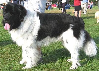 A modern Newfoundland with Landseer coloration.