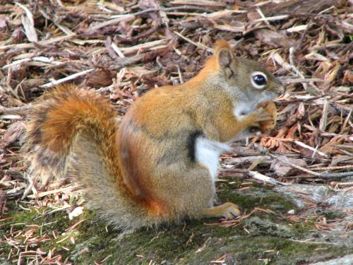 am-red-squirrel