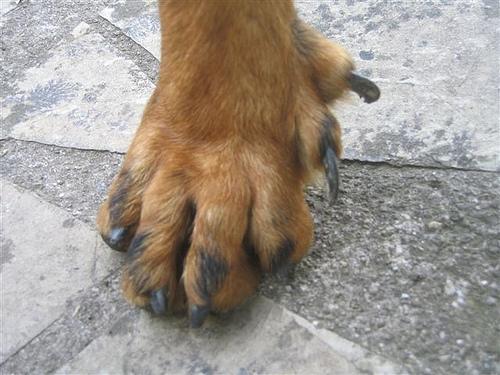 extra claw on dog