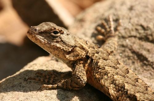 fence-lizard