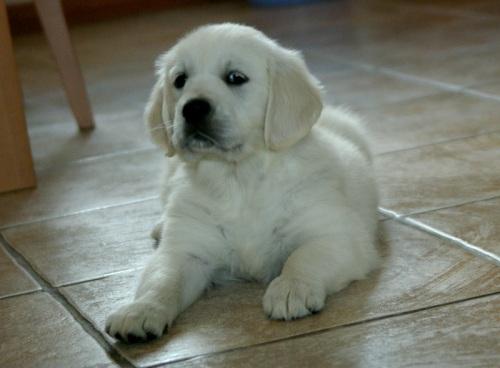 golden-retriever-cream-pup