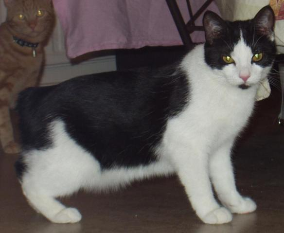 """Why are there so many tailless """"Manx"""" cats in West Virginia"""