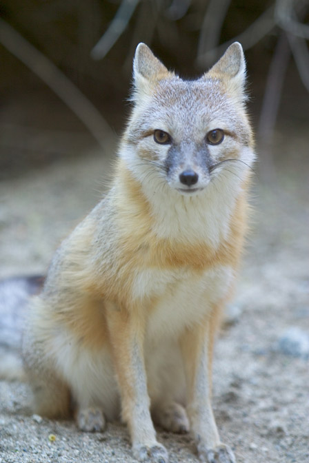 swift-fox