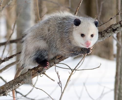 virginia-opossum1