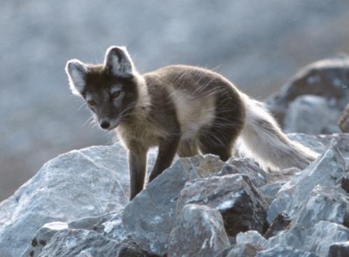 white-arctic-fox-in-summer