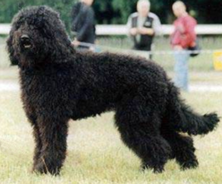 The barbet is really similar to the English rough water dog or water rug that Shakespeare or Markham knew.