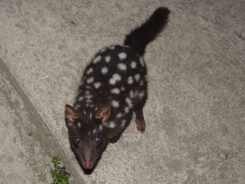 black-eastern-quoll