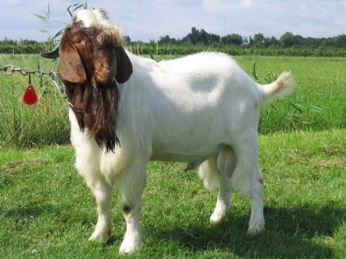 Appalachian Goat Association Holding a Show in Glenville, WV
