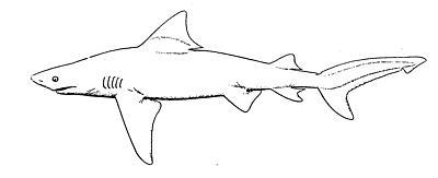 bull shar sketch