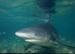 Imagine seeing one of these swimming around in a Midwestern lake.