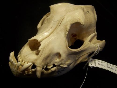 bulldog skull