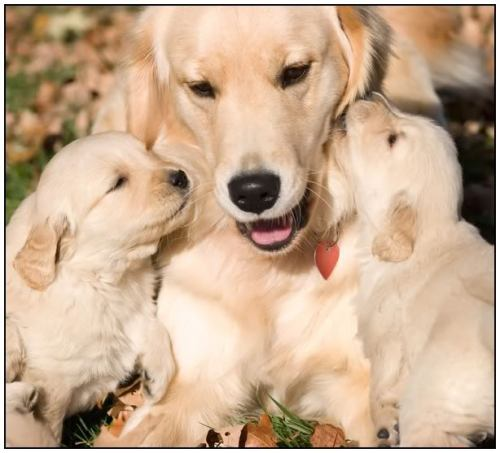 golden-bitch-and-pups