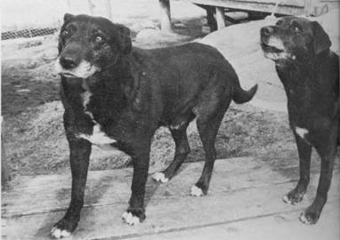 Richard Wolters found the last two St. John's water dogs in Newfoundland. The breed was extinct by the early 1980's.