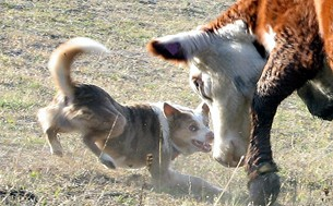 Dogs have no function. They are just social parasites. And if you believe that, try bringing in a few half-wild range cattle on your own.