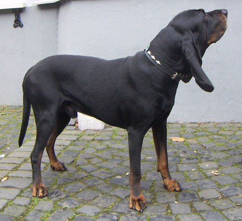 The black and tan coonhound descends from crossing the old black and tan foxhound with a bloodhound.