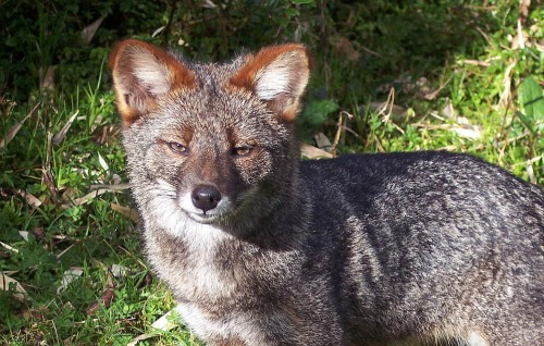 Darwin's fox or Darwin's zorro