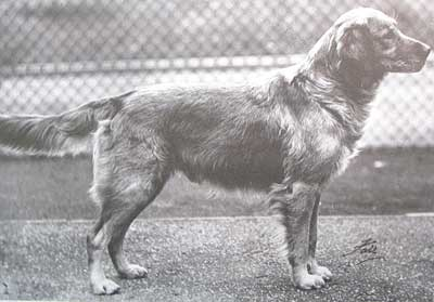 Ch. Dunkelve Rusty was a top show dog in the late 1930's. He's a very nicely built dog, although, as per the custom of the day, he was a bit over-trimmed.