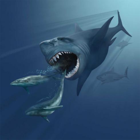 Megalodon hunting juvenile blue whales. White sharks don't get this big. The Megalodon may not have reached this size either.