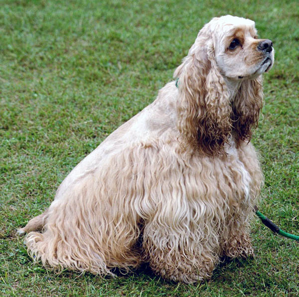 American Cocker Spaniel breed dog