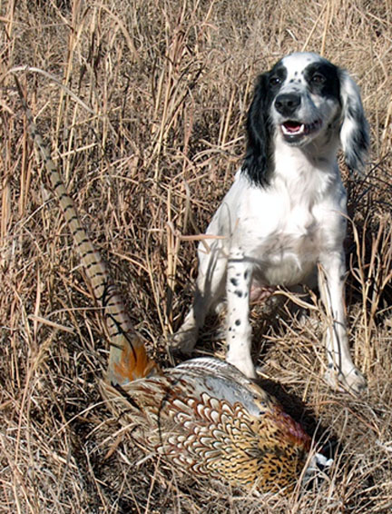 Hunting American Cocker Spaniel breed dog