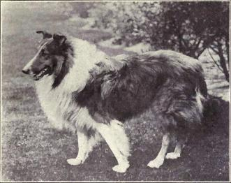 Photo of a collie from 1915.