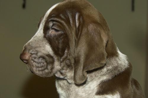 Bracco Italiano puppy