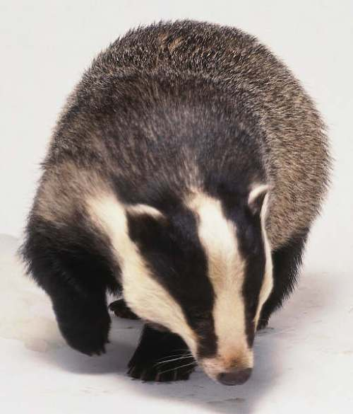 Eurasian badgers are not solitary.