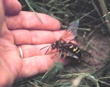 female cicada killer with cicada