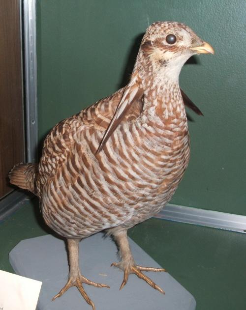 Heath Hen Natural History