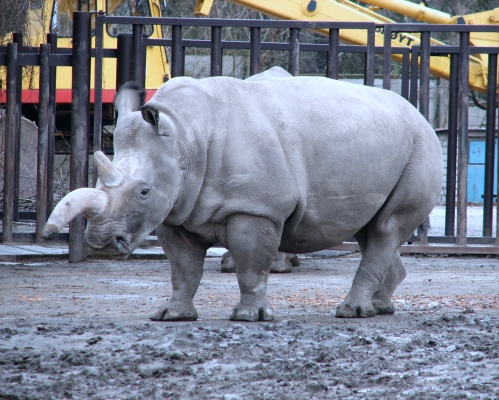A northern white rhino in the deepest, darkest wilds of the Czech Republic.