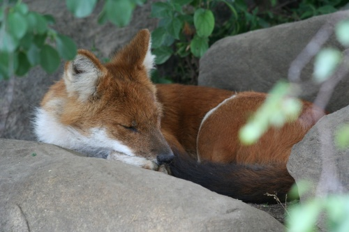 sleeping dhole