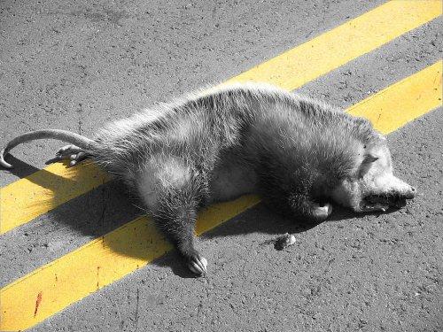 dead opossum