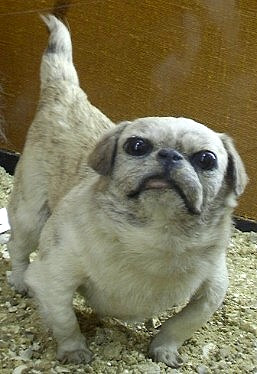 The happa dog is the ancestor of the pug, Pekingese, and Japanese chin dogs. This dog is a taxidermied specimen at the Rothschild Zoological Museum at Tring, England.