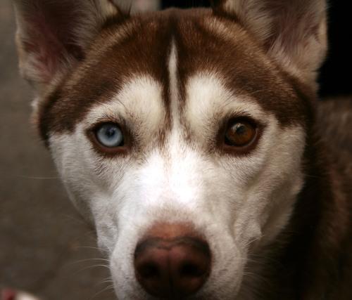 red husky blue eye