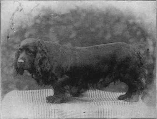 Ch. Bridford Giddie owned by Moses Woolland. You can't tell me that such short legs are functional to a working spaniel.