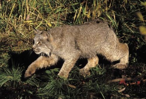Canada lynx II